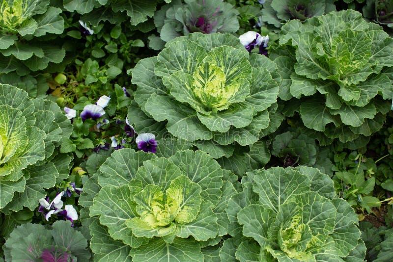 观赏羽衣甘蓝和开花甘蓝植物 库存图片
