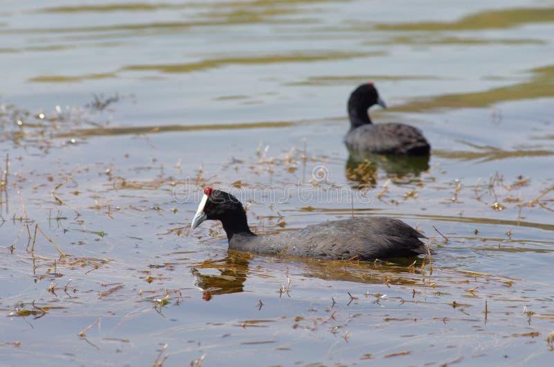 观鸟在湖Hora,埃塞俄比亚附近 免版税库存图片