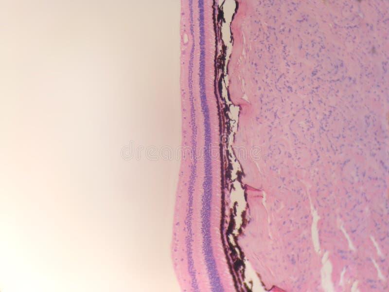 视网膜 库存照片