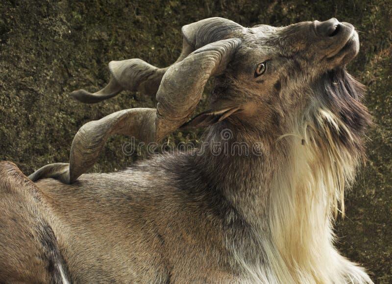 捻角山羊 库存照片