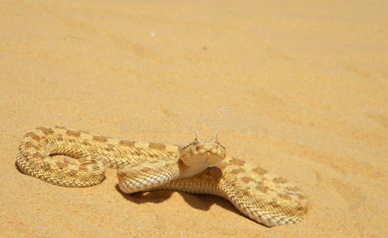 角蝰蛇撒哈拉大沙漠沙蝰 免版税库存照片