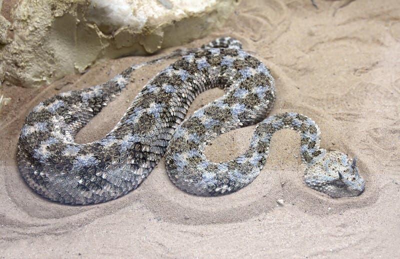 角蝰蛇 免版税库存照片