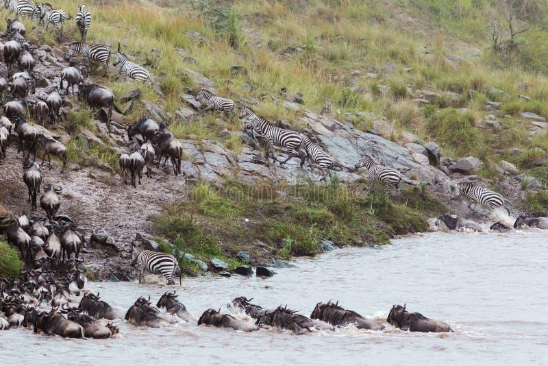 角马一条大小河横跨河的 肯尼亚mara马塞语 库存图片