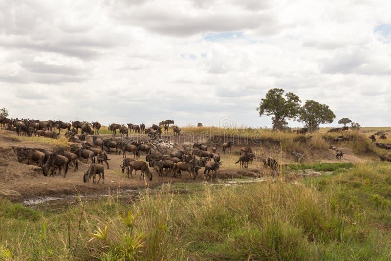 角马和斑马在浇灌 mara马塞语 库存照片