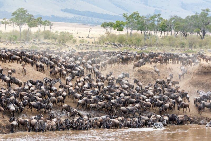 角马和斑马在玛拉河的河岸 免版税库存图片