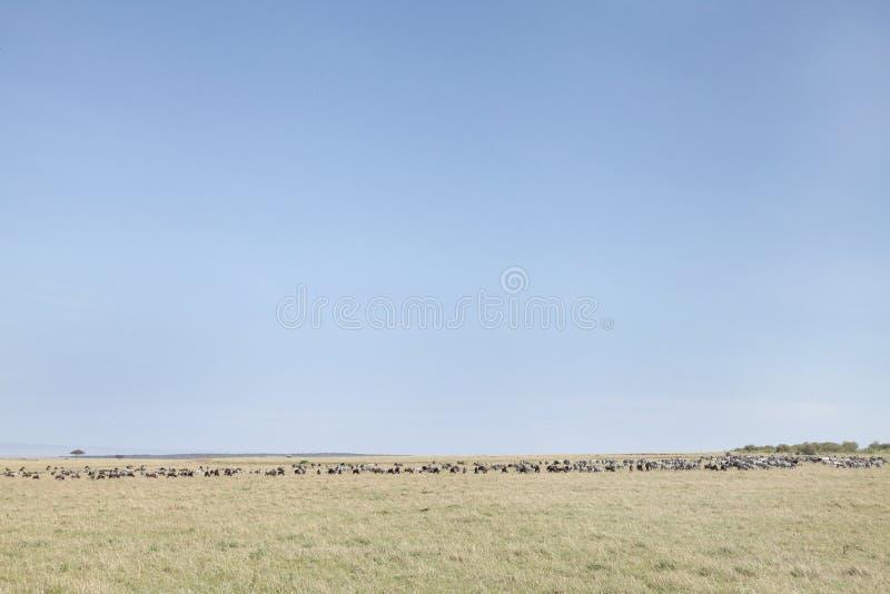角马和斑马在马塞人玛拉国家公园,肯尼亚草原  图库摄影