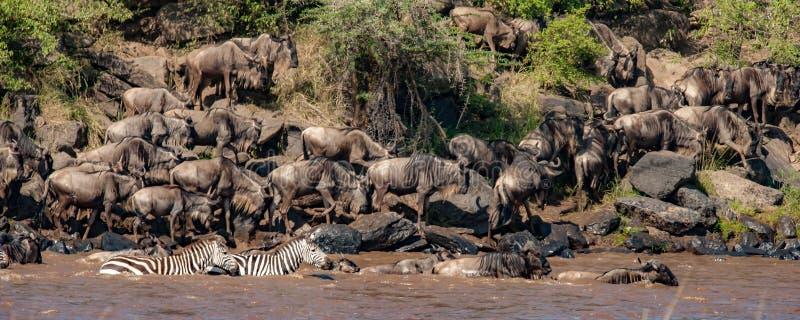 角马和斑马线牧群尼罗河 库存照片