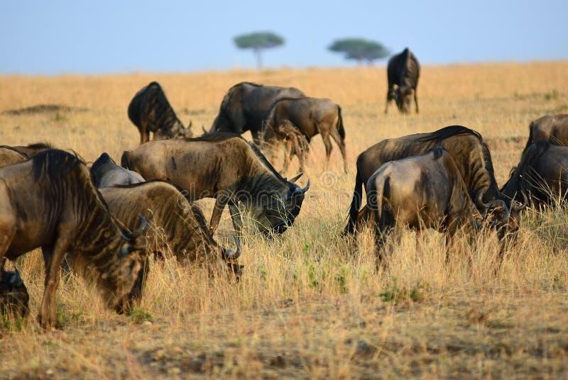 角马在肯尼亚,马塞语玛拉 免版税库存照片