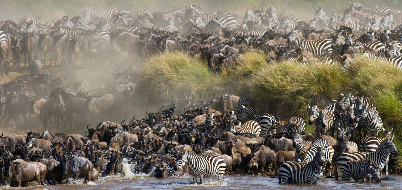 角马大牧群是关于玛拉河 巨大迁移 肯尼亚 坦桑尼亚 马塞人玛拉国家公园 库存图片