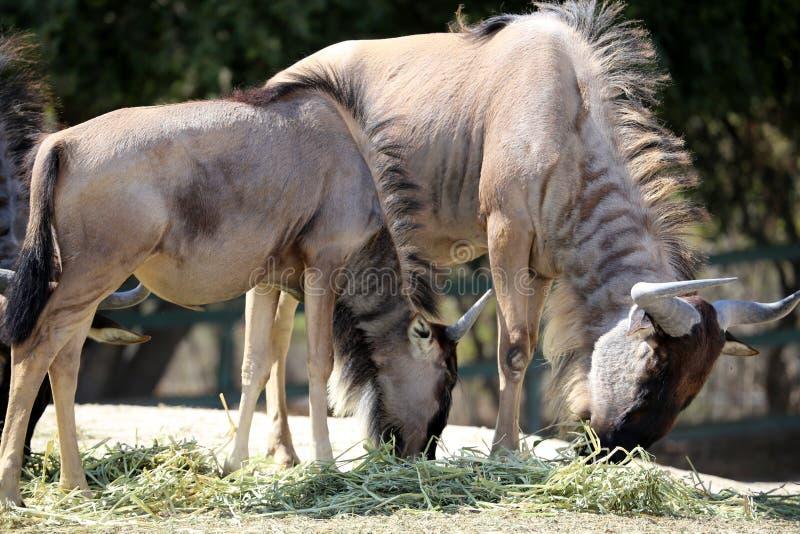 角马或牛羚 免版税库存照片