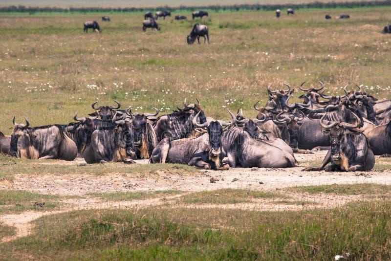 角马母亲和最近出生的小牛, Ngorongoro火山口, Tanz 库存图片