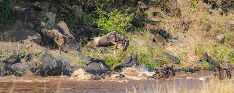 角马牧群在横渡尼罗河的线的 免版税图库摄影