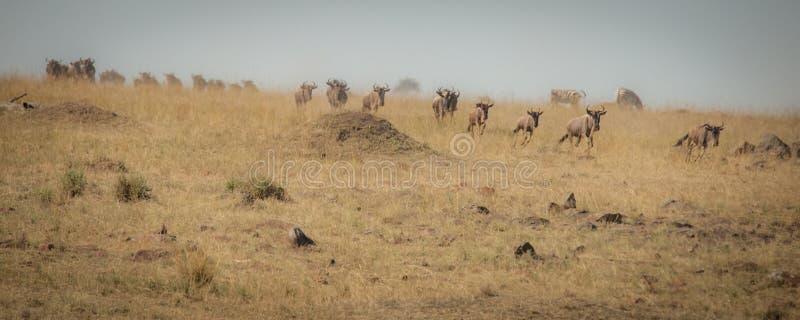 角马种族牧群向尼罗河在角马迁移时 免版税库存照片