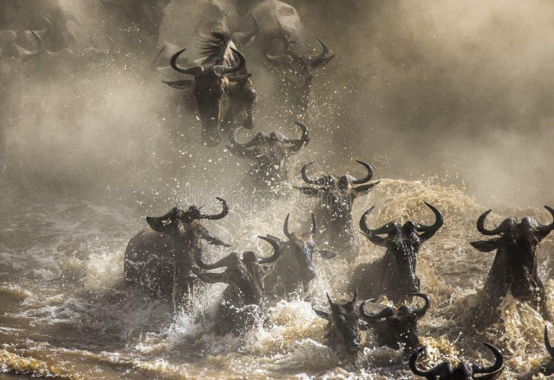 角马穿过玛拉河 巨大迁移 肯尼亚 坦桑尼亚 马塞人玛拉国家公园 免版税库存图片