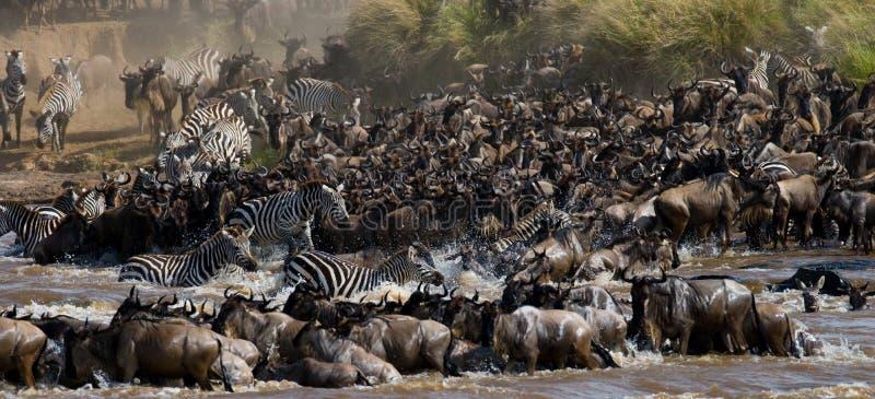 角马穿过玛拉河 巨大迁移 肯尼亚 坦桑尼亚 马塞人玛拉国家公园 库存图片