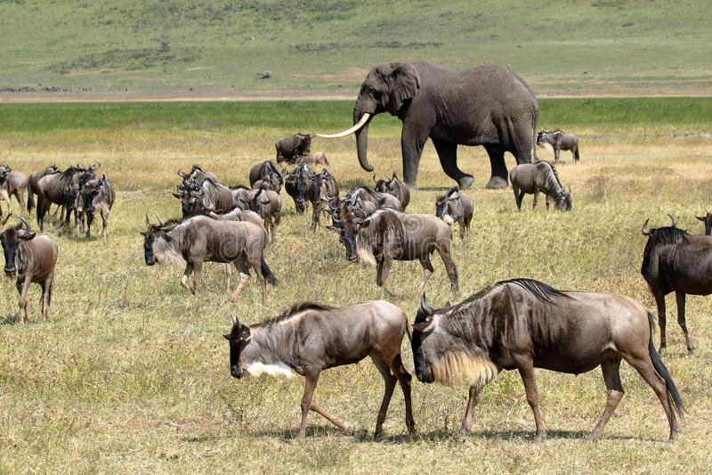 角马非洲大象和牧群  免版税库存图片