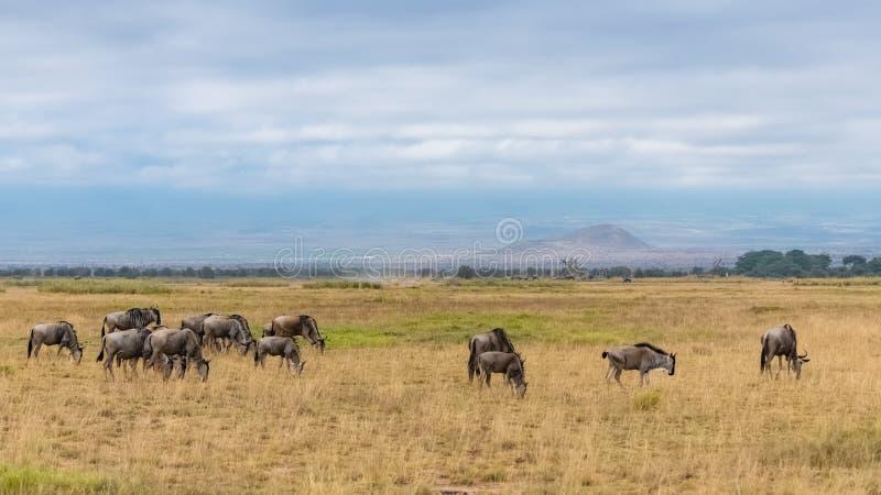 角马,牛羚牧群  免版税库存照片