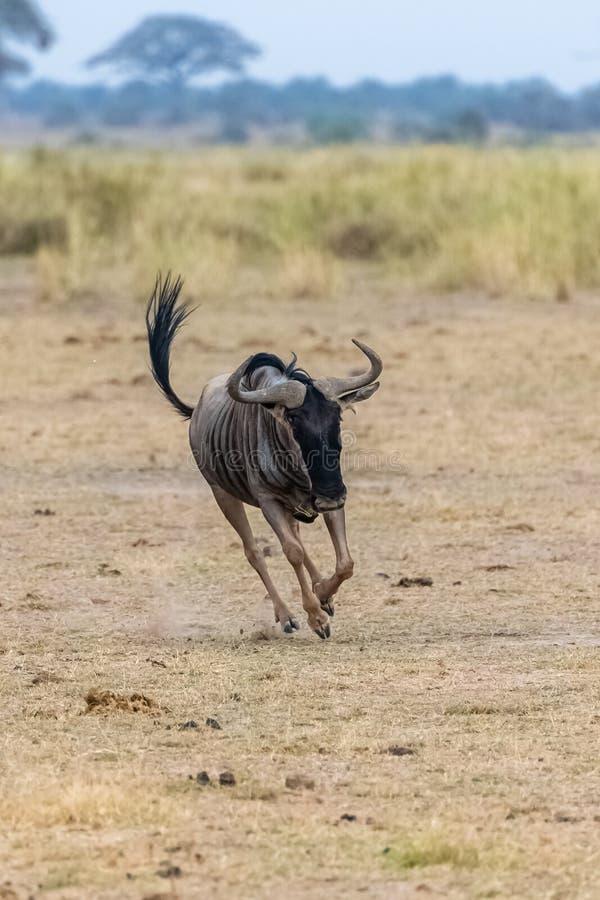 角马,牛羚跑 免版税库存图片
