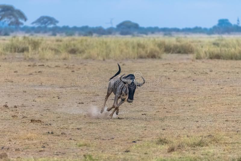 角马,牛羚跑 库存照片