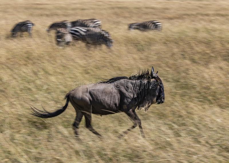 角马,角马属taurinus,跑在马塞人玛拉的大草原的高草,肯尼亚,有在被弄脏的b的斑马的 免版税库存图片