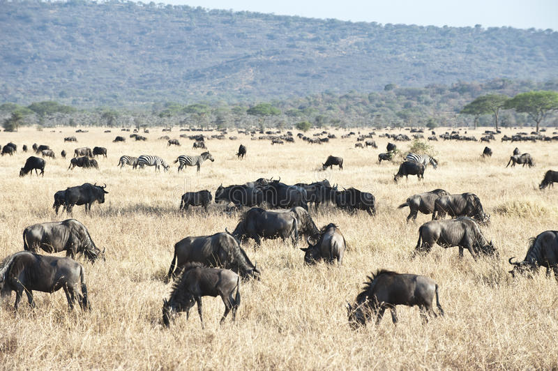 角马-牛羚-在serengeti 免版税库存图片