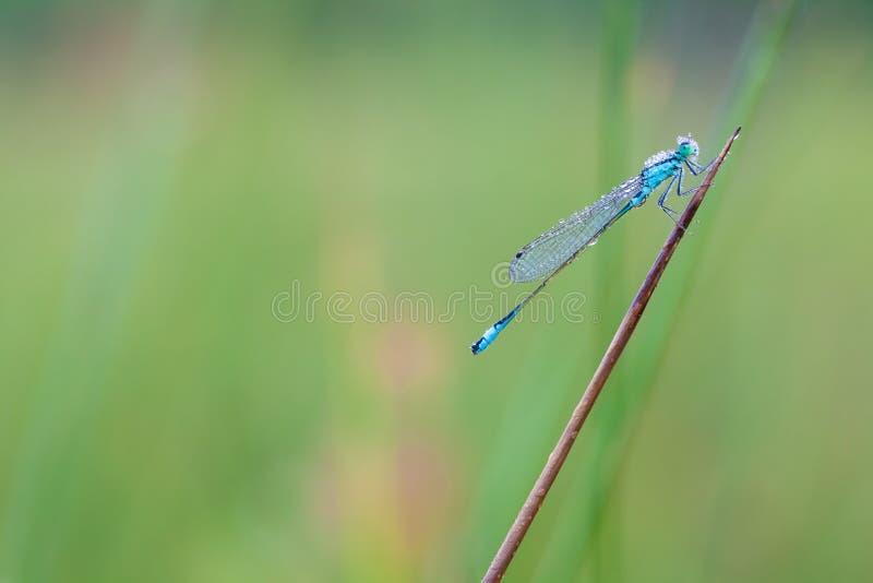 觚明显的蜻蜓 免版税图库摄影