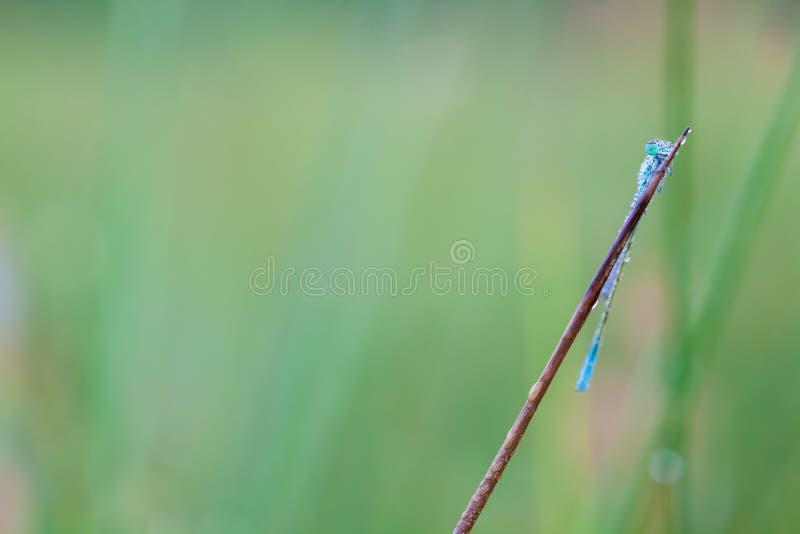 觚明显的蜻蜓 免版税库存照片