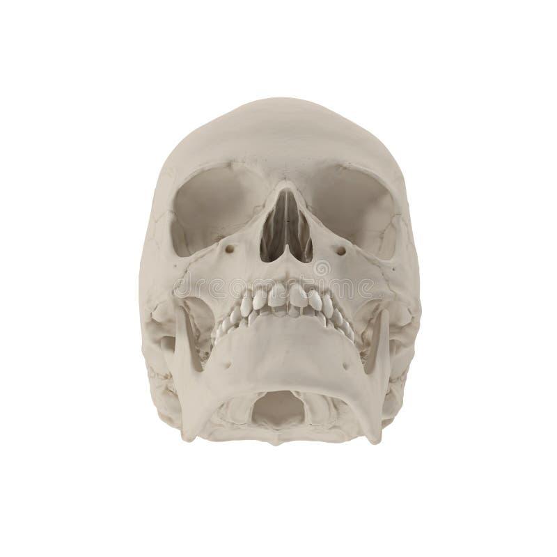 解剖上改正女性人的头骨的医疗模型在白色的 3d例证 向量例证