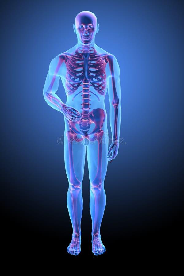 解剖学人力骨骼 向量例证