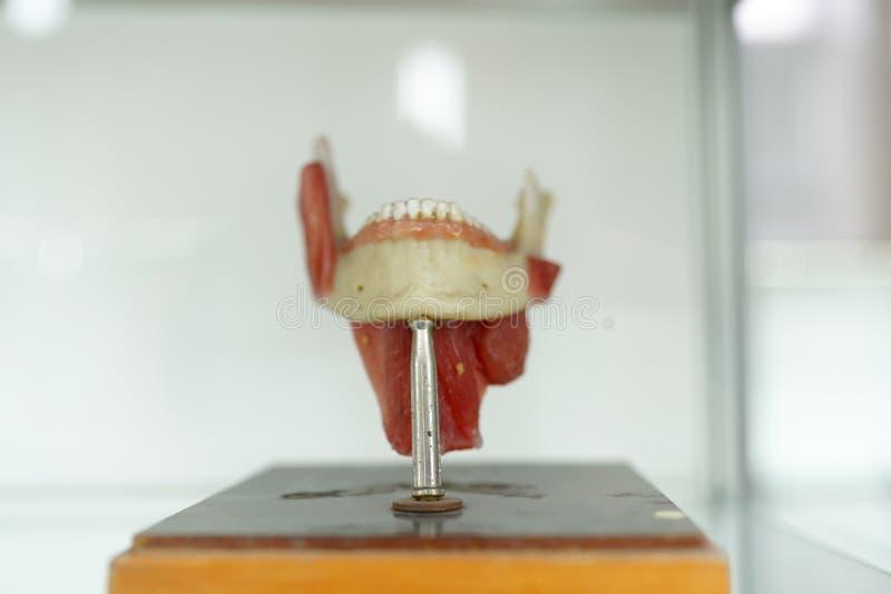 解剖学人的下颌牙在白色背景塑造 一部分的与肌肉的人面模型 医疗教育概念 r 免版税库存照片