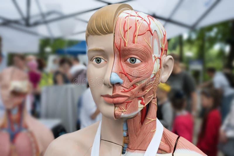 解剖学人的模型在街道陈列的 免版税库存照片
