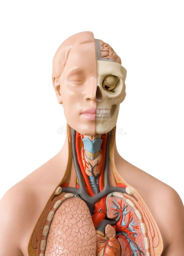 解剖学人 免版税库存图片