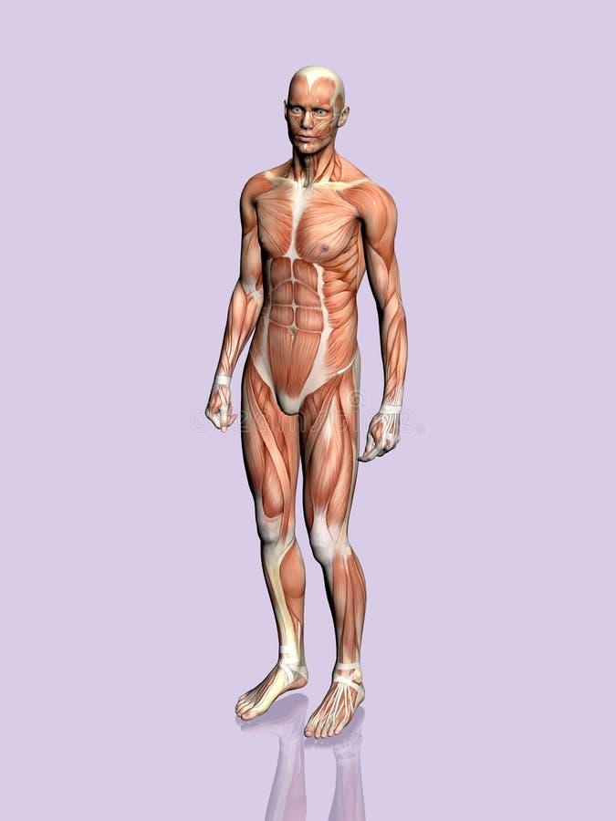 Download 解剖学人 库存例证. 插画 包括有 背包, 人力, 爱好健美者, 传记, 胸口, 科学, 正横, 肉体, 带状闪长岩 - 189238
