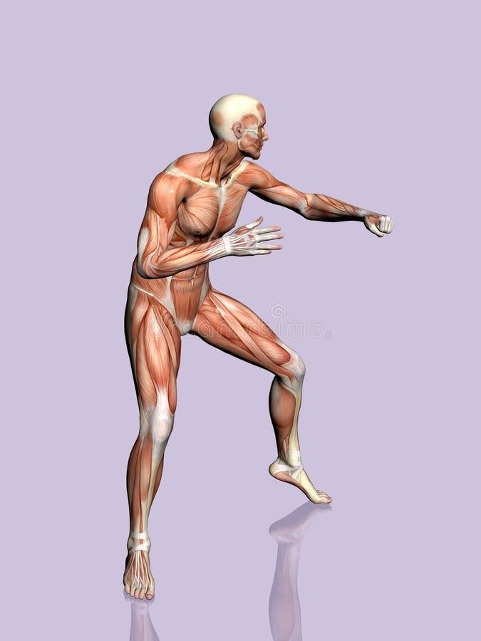 Download 解剖学人 库存例证. 插画 包括有 正横, 实际, 带状闪长岩, 健身, 肉体, 赤裸, 人力, 传记, 科学 - 190197