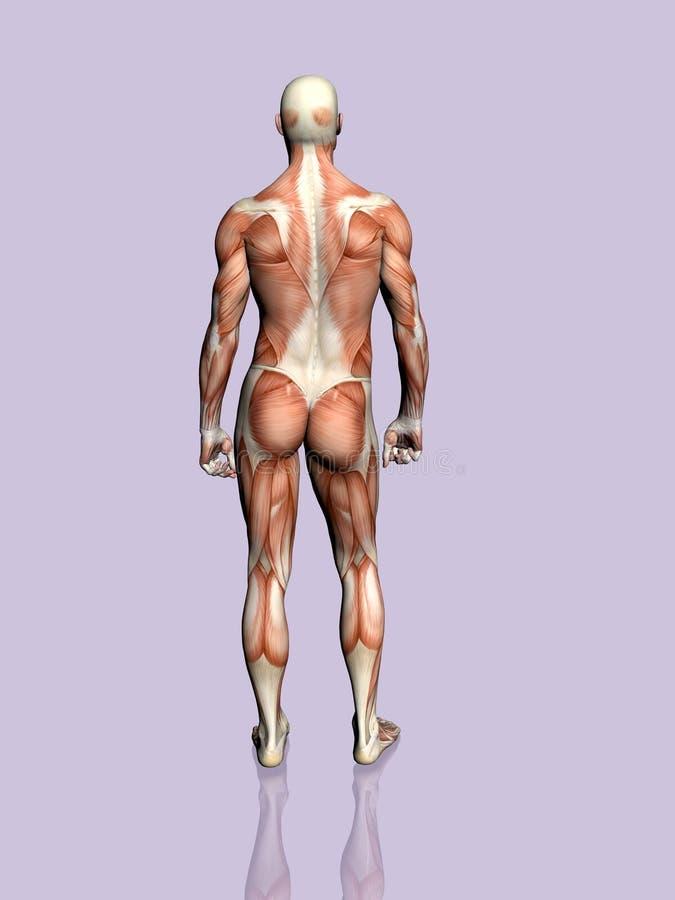 Download 解剖学人 库存例证. 插画 包括有 伍长, 犰狳, 胸口, 例证, 题头, 带状闪长岩, 健康, 爱好健美者 - 190198