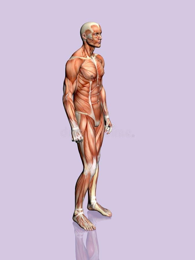 Download 解剖学人 库存例证. 插画 包括有 爱好健美者, 背包, 实际, 正横, 肉体, 医疗, 人力, 传记, 男性 - 190200