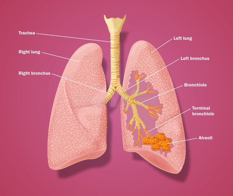 解剖学呼吸道 向量例证