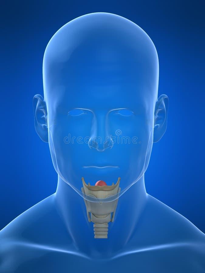 解剖学喉 皇族释放例证