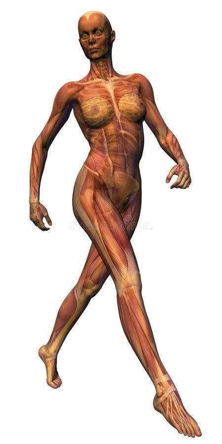 解剖学女性大步 库存照片