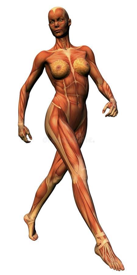 解剖学女性大步 库存例证