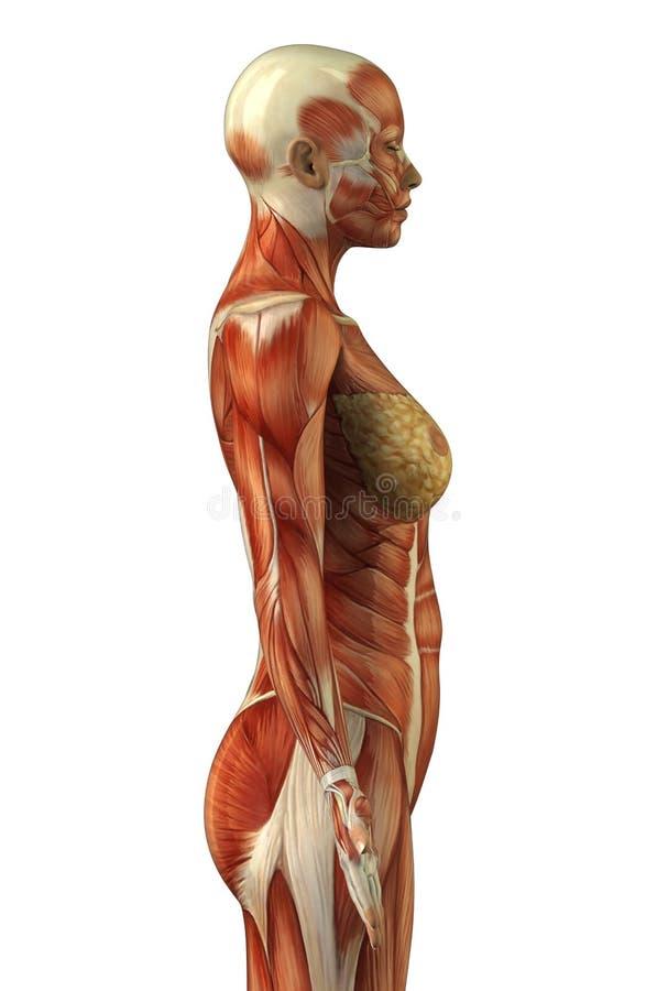 解剖学女性肌肉系统 皇族释放例证