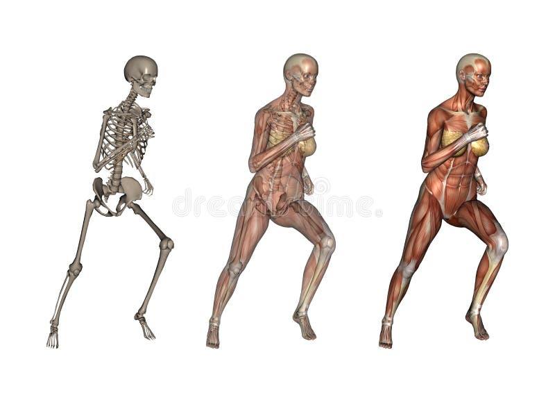 解剖学女性运行中 向量例证