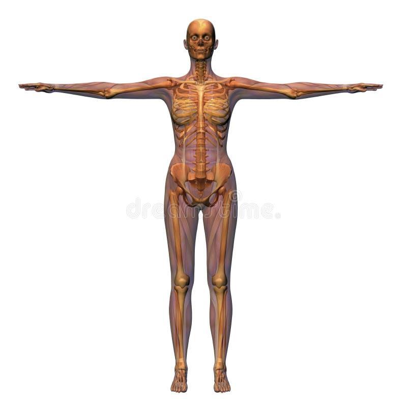 解剖学女性 库存例证