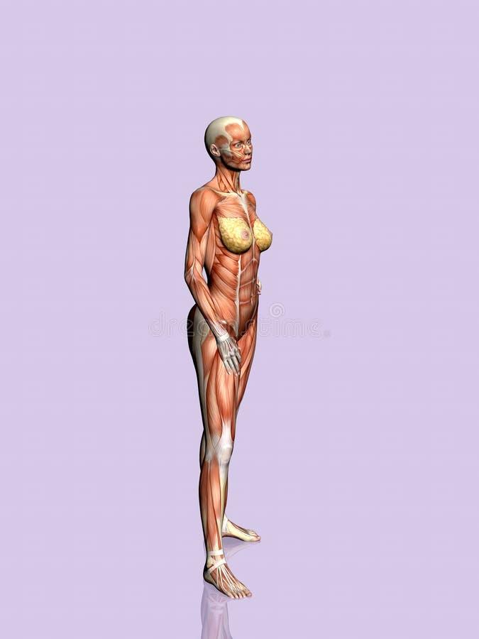 Download 解剖学妇女 库存例证. 插画 包括有 女性, 带状闪长岩, 医学, 胸口, 人力, 预示的, 女主持人, 健康 - 190206