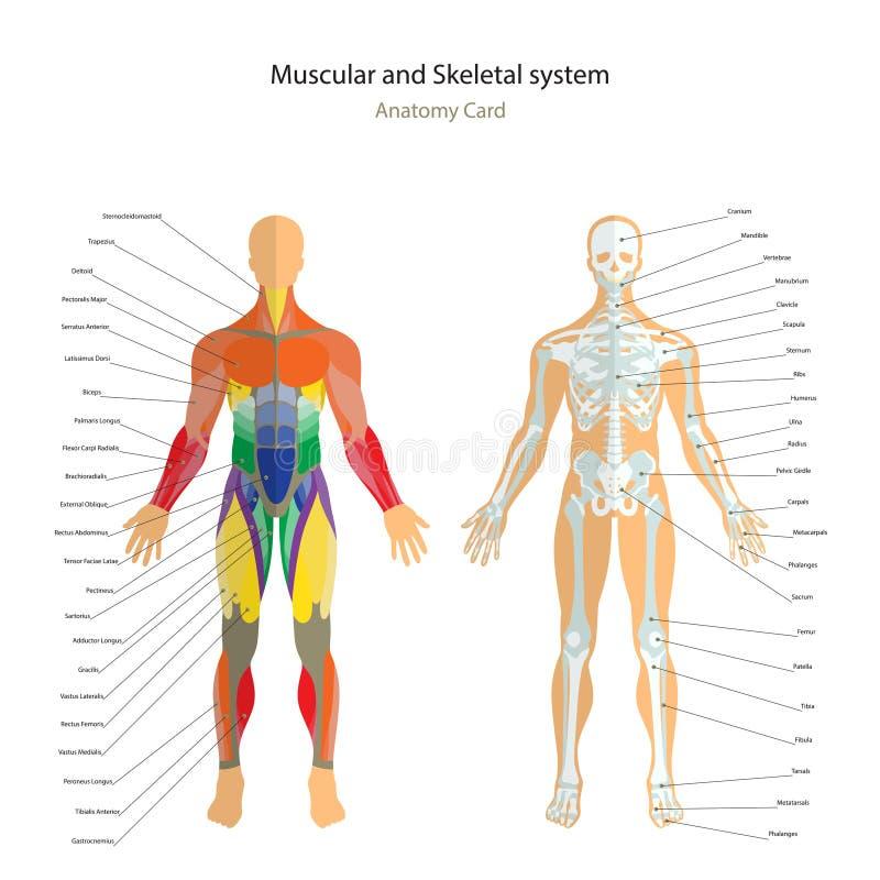 解剖学指南 与解释的男性骨骼和肌肉地图 正面图 库存例证