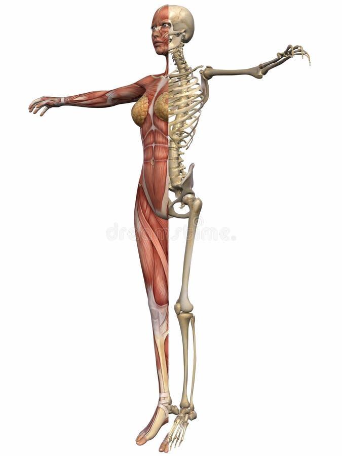 解剖学机体女性 向量例证