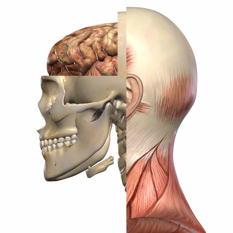 解剖学机体女性 库存例证