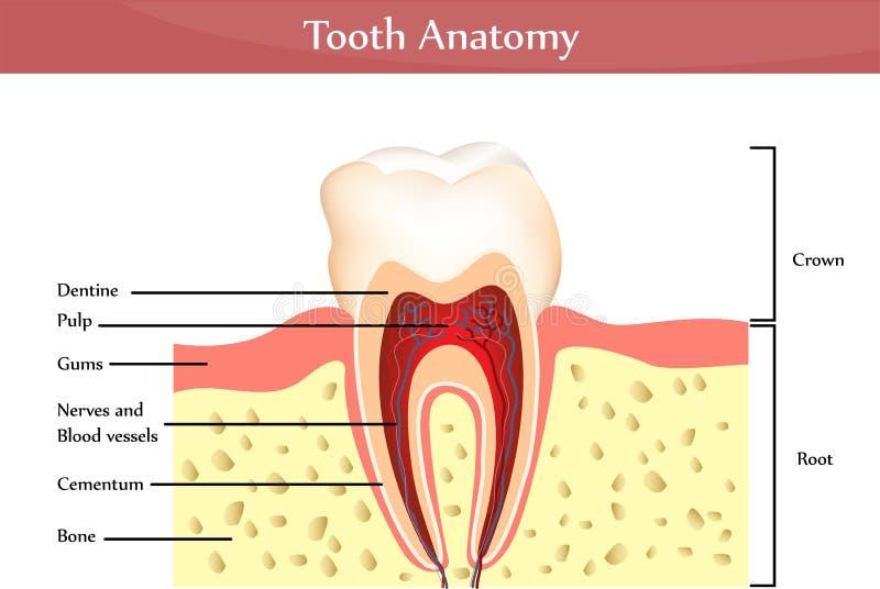 解剖学牙 向量例证