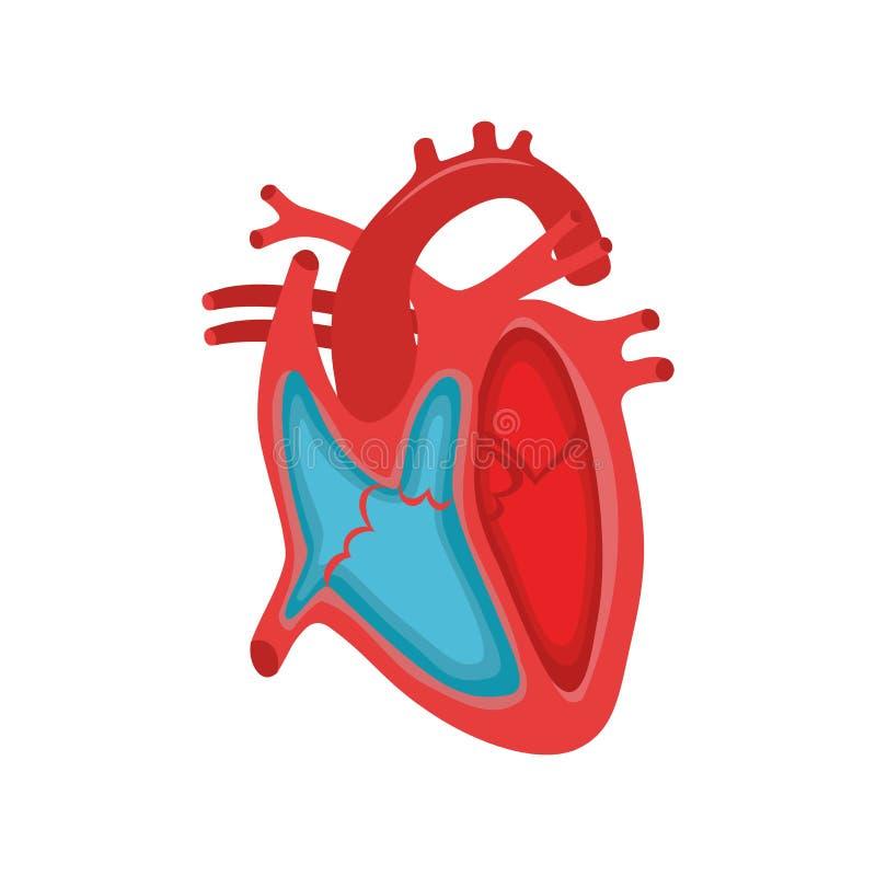 解剖学现有量重点人力例证原来的绘了 一部分的人的心脏 女主持人 扩张和收缩 填装和抽人的心脏结构解剖学a 向量例证