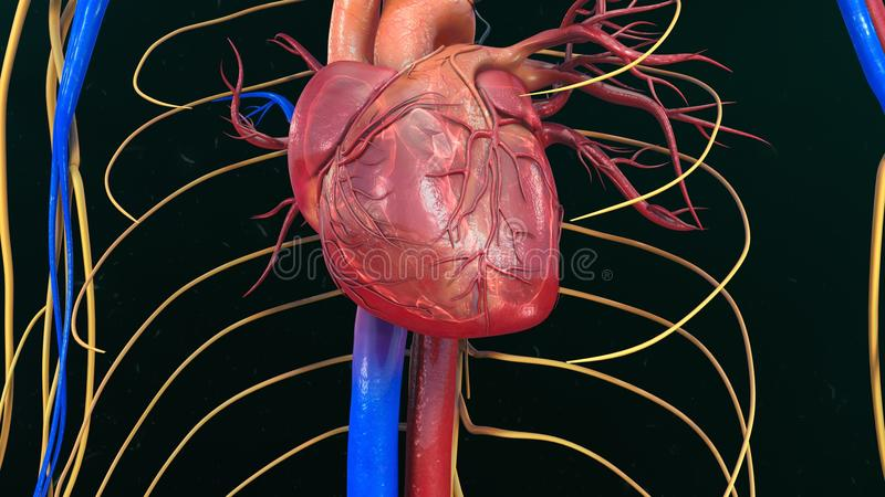 解剖学现有量重点人力例证原来的绘了 免版税库存照片